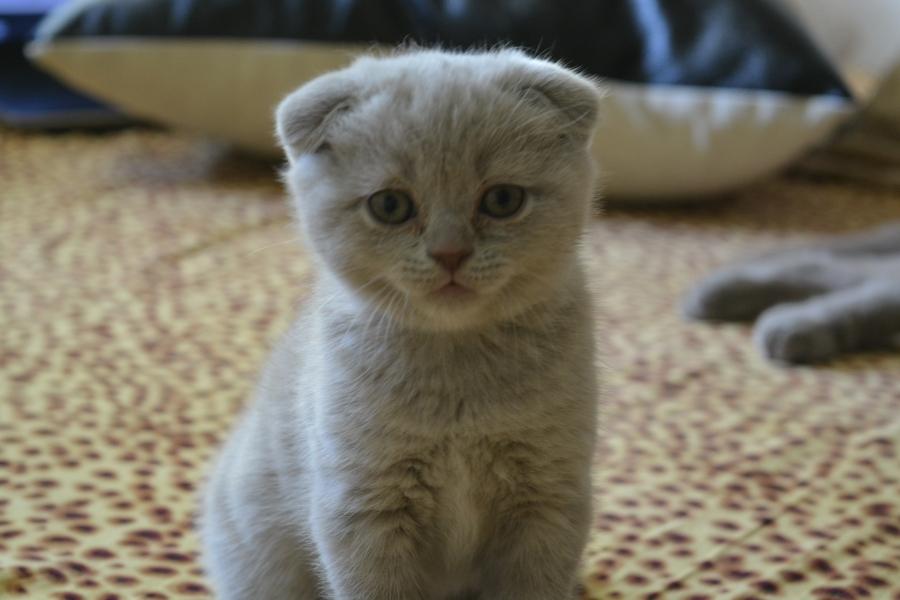 Кошка или кот вислоухий что лучше
